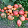 2008 08 27 Mes tomates ramassé aujourd'hui sous serre