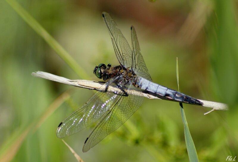 Orthetrum réticulé (Orthetrum cancellatum) mâle 1