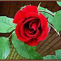 Rose 0105152