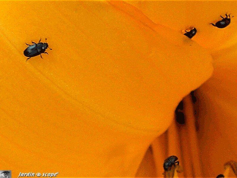 Les m lig thes du colza meligethes aeneus le jardinoscope cot pratique les bons gestes - Petit insecte rouge jardin besancon ...