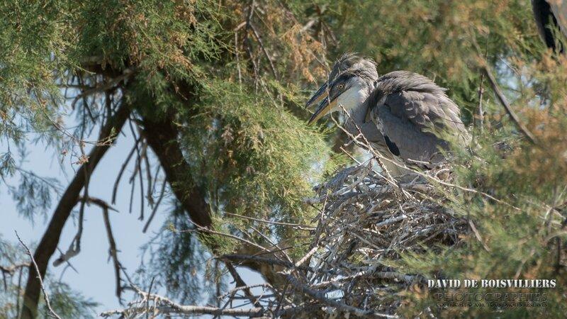 Hérons cendrés (Ardea cinerea - Grey Heron) juvéniles