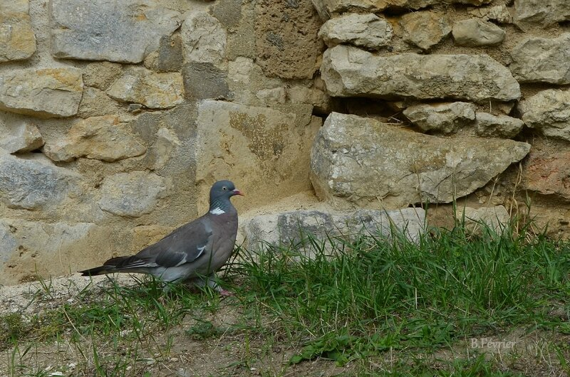 Pigeon ramier (columba palumbus) - common wood pigeon