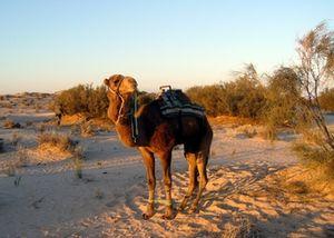 Un_dromadaire_dans_le_Sahara