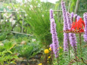 Prunes cueillette et confiote jeudi 12 juillet 2012 001