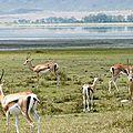 NG07-Antilopes