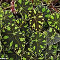 Bégonia sp. au graphisme remarquable des feuilles