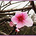 Fleurs de Pêcher 2003155