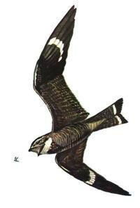Photo-nighthawk