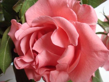 rosesabine