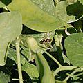 Syrphe (petite mouche rayée comme une abeille)