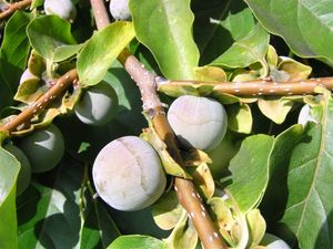 DIOSPYROS_lotus_fruit