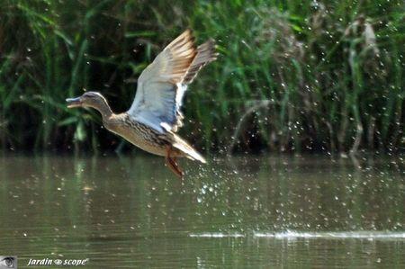 Canard-envol-Sologne