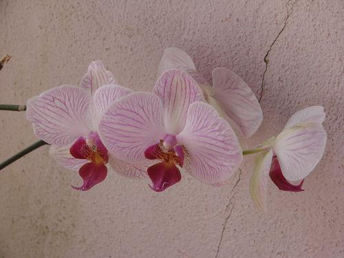 2008 08 25 Des fleurs d'orchidées
