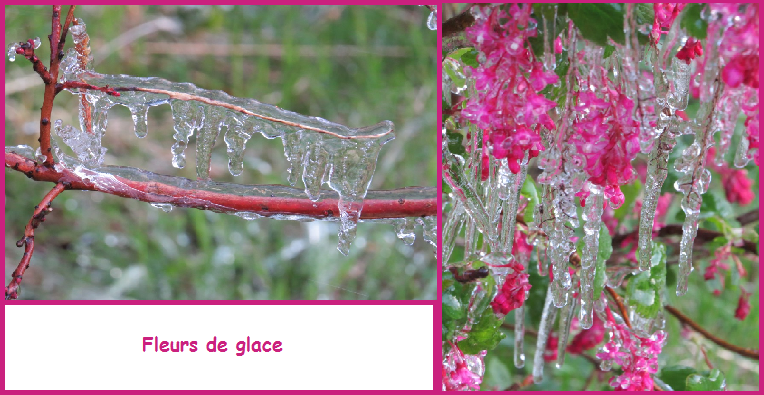 Fleurs de glace