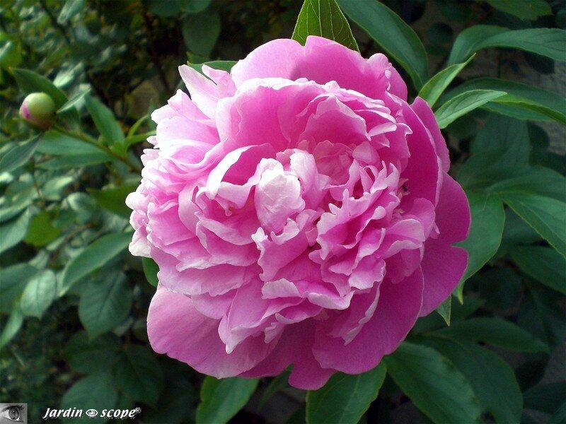 Une ressemblance avec sa cousine anglaise la rose le for Grosse plante exterieur