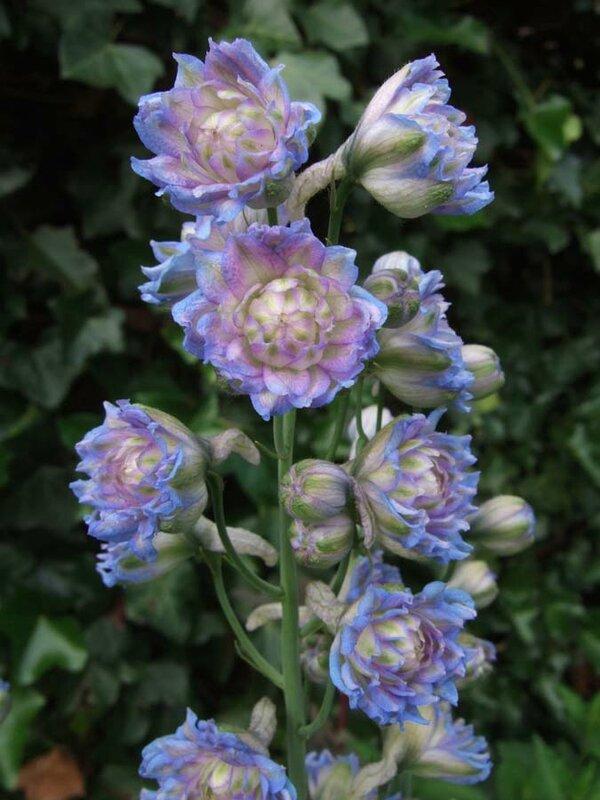 Delphinium 'Alice Artindale'