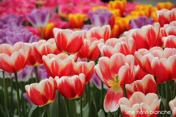 Keukenhof_tulipes