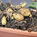 Des pommes de terre dans une jardinière
