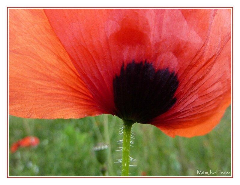 2011_05_09-Poppy 652