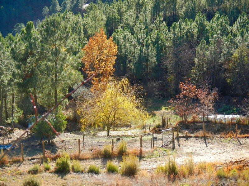 clairière dans les pins