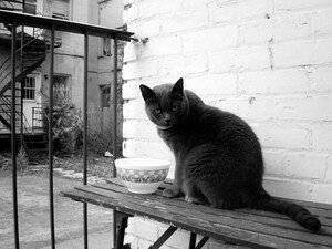 noir_blanc_chat_animaux_montreal_139502