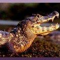jacaré caiman crocodillus yacare