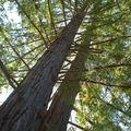 Sequoia sempervirens, l'arbre le plus haut du Loiret (46 m et 120 ans)