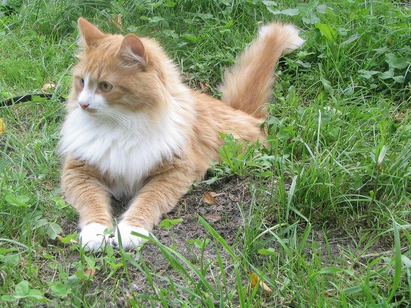 Siberian_cat_-_Tofik