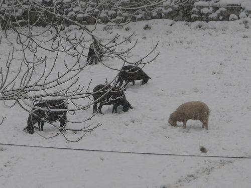 2008 10 29 Les moutons dans la neige