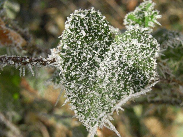 feuille gelée coeur