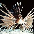 pterois-volitans-rascasse-volante-1024x768