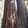 La forêt de sequoia (tania, rhama, alizée, amandine)