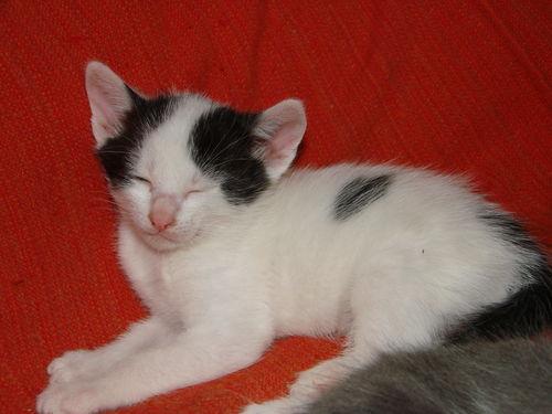 2008 04 25 Un petit chaton noir et blanc de Blanco
