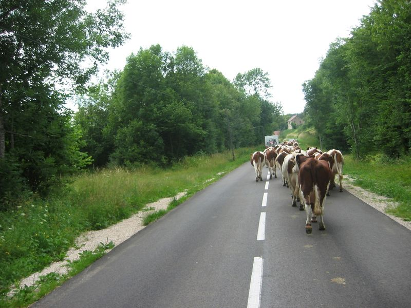 57_Vaches