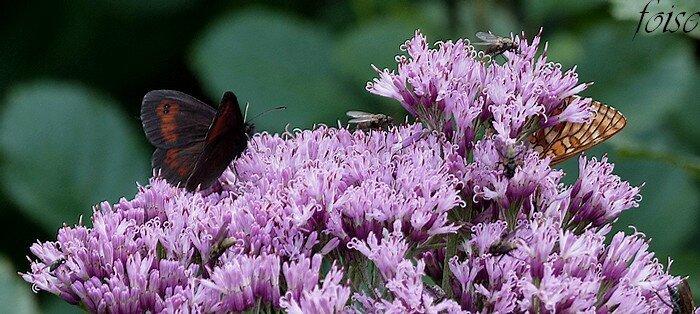 corolle rose à purpurine