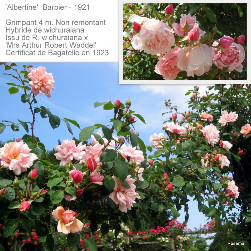 'Albertine' - BARBIER (1921)
