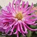 Des fleurs qui évoquent un feu d'artifice…