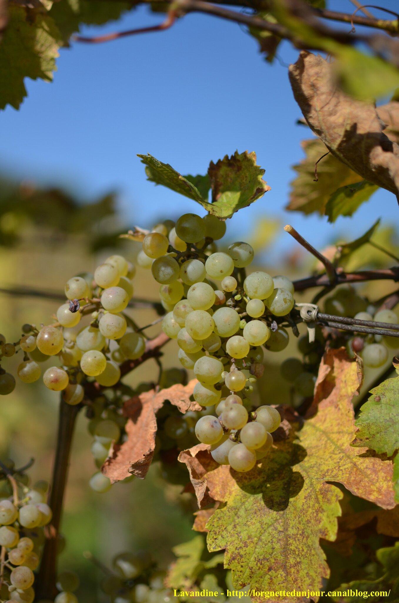 14/10/14 : Dans les vignes au-dessus de Molsheim