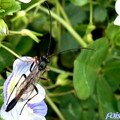 Ichmonidae à préciser