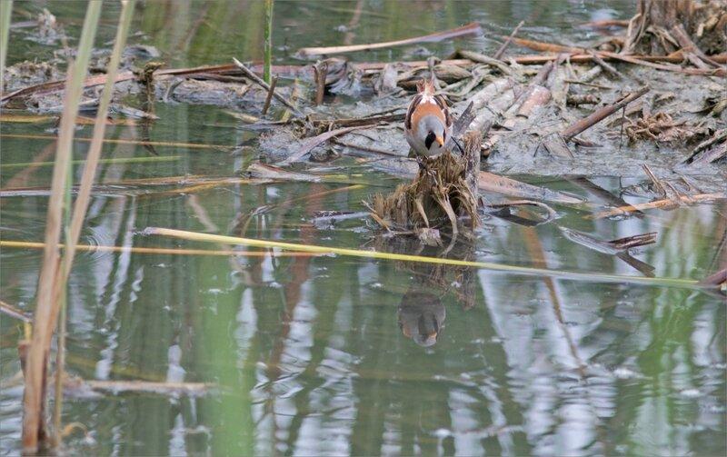 Haut Aragon juin 2017 J3 lagune Saranina 11 oiseau panure