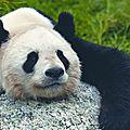 Panda en plein effort