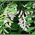Fleurs d'Acacia 0105154