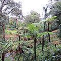 Fougères arborescentes au jardin du rayol