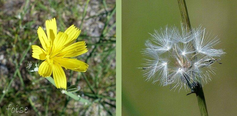 fleurs jaunes toutes ligulées akènes à pappus blanc pur