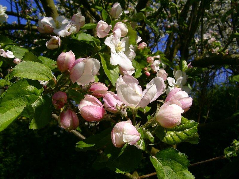 fleurs de pommiers