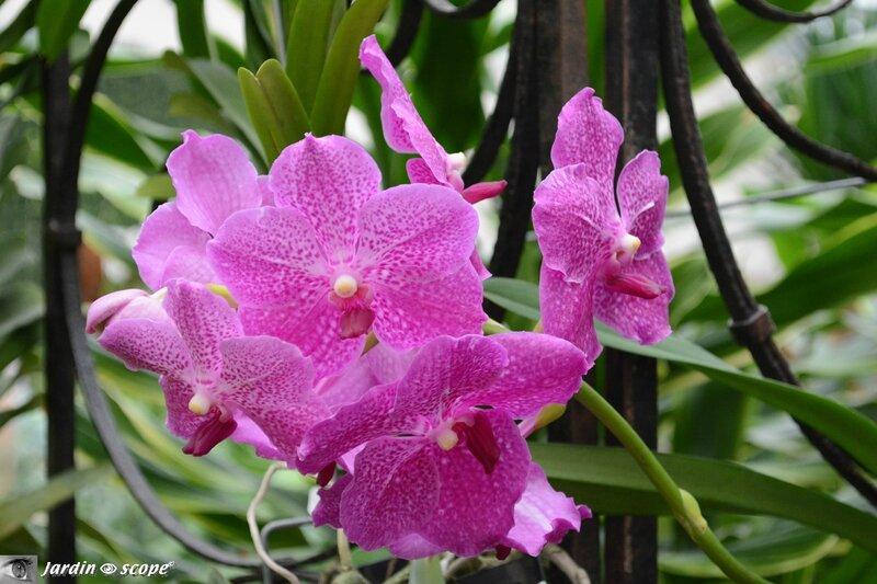 Orchidée-252