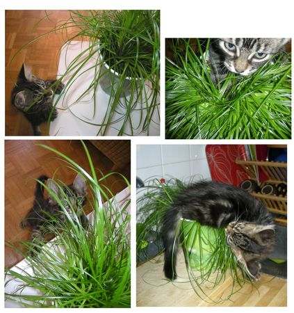herbe___chat