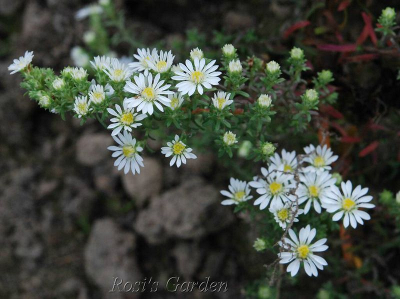 Aster ericoides ' Prostate Form'