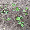 f-plants disposés en quinconse