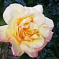 Rose 21051621